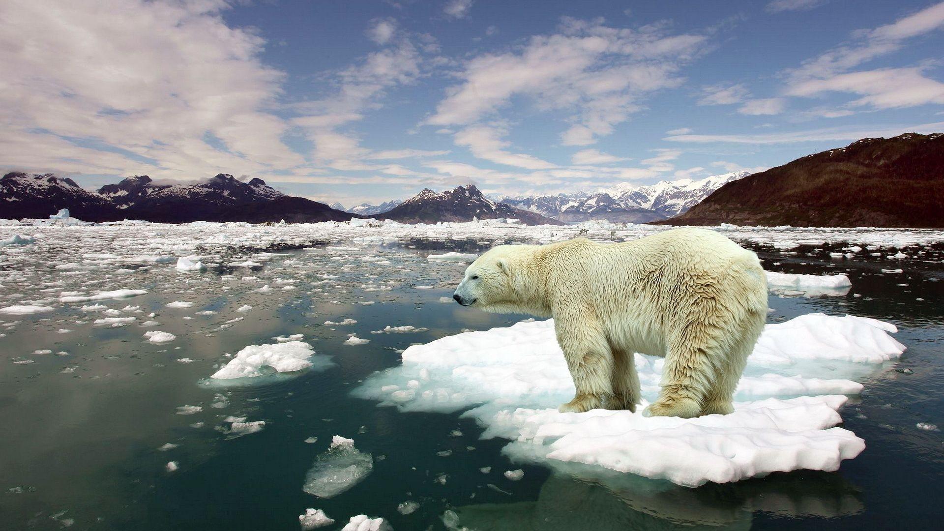 Image of a polar bear on a small ice flow